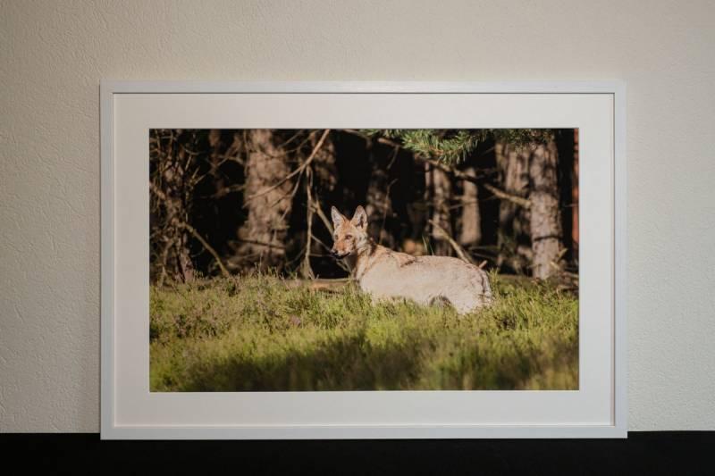 Wolfswelpe